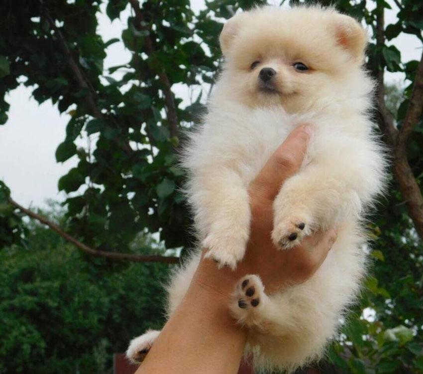 Pomeranian Boo cinsi