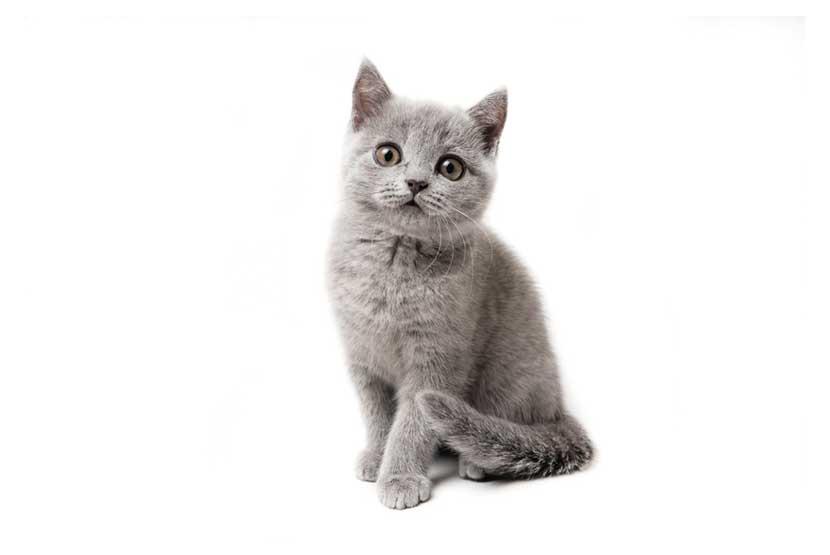 ankara vetrium British Shorthair kedi