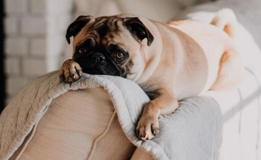 köpek davranışlarının anlamı