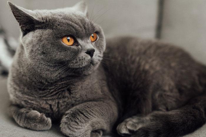 Kedi ırkları British Shorthair