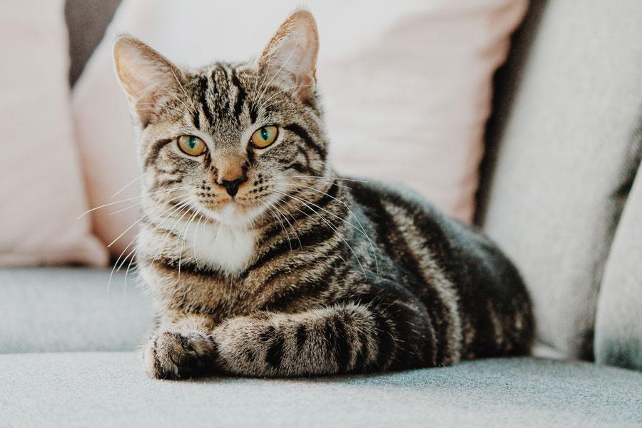 Kedi Irkları, Kedi Türleri ve Özellikleri