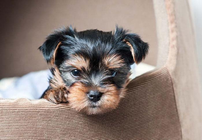 tüy dökmeyen köpek cinsleri yorkshire terrier