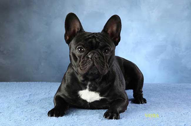 Küçük köpek cinsleri, fransız bulldog