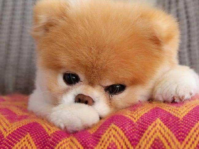 Küçük köpek cinsleri, poomeranian boo