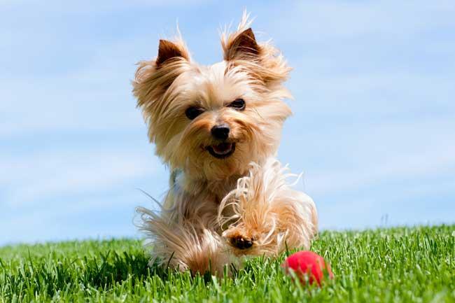 Küçük köpek cinsleri, yorkshire terrier
