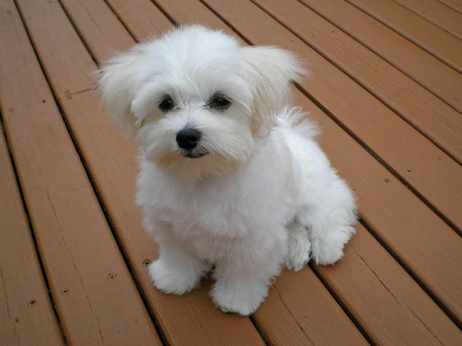 Küçük köpek cinsleri, malya teriyer