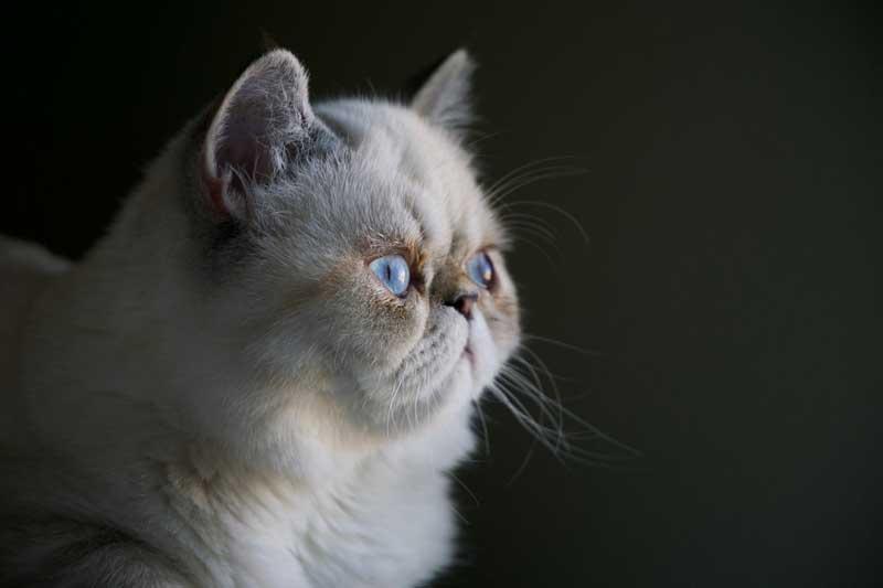 beyaz kedi, kedi tüy bakımı