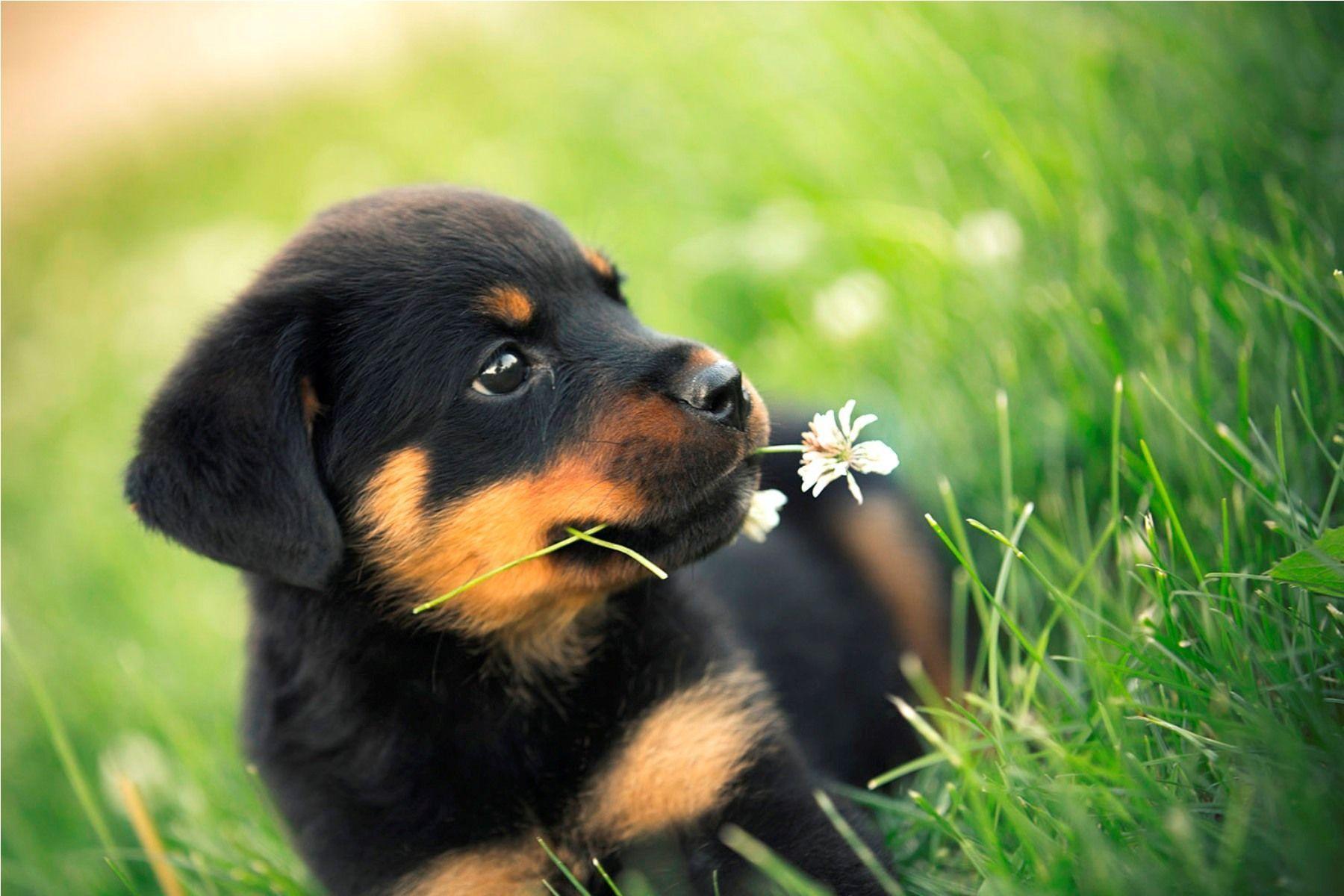Rottweiler Özellikleri, Karakteri ve Bakımı