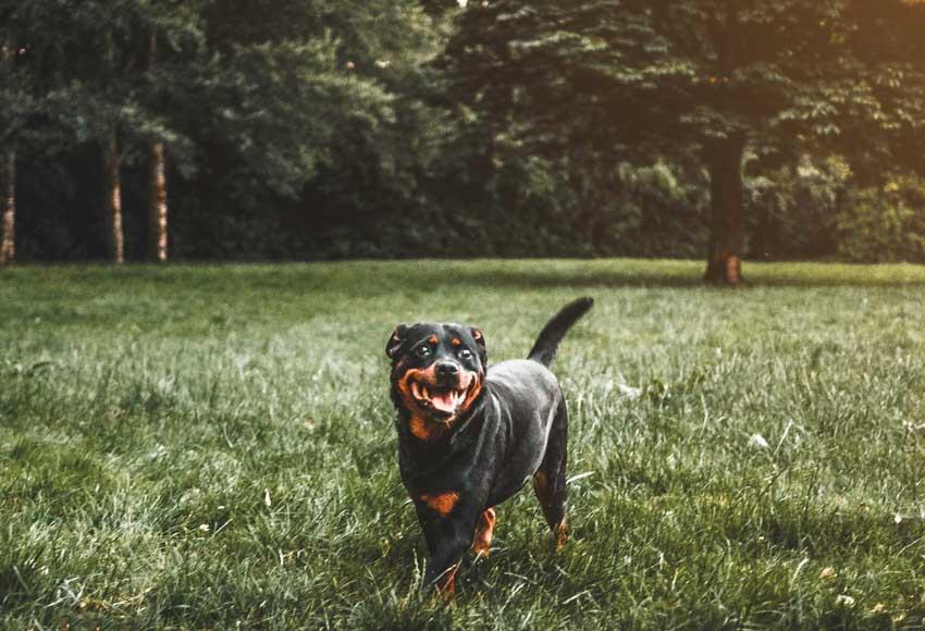 rottweiler cinsi, özellikleri