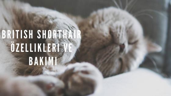 British Shorthair Özellikleri ve Bakımı için Bilmeniz Gereken Herşey