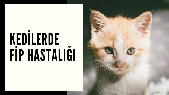 Kedilerde Fip Hastalığı, Belirtileri ve Tedavileri