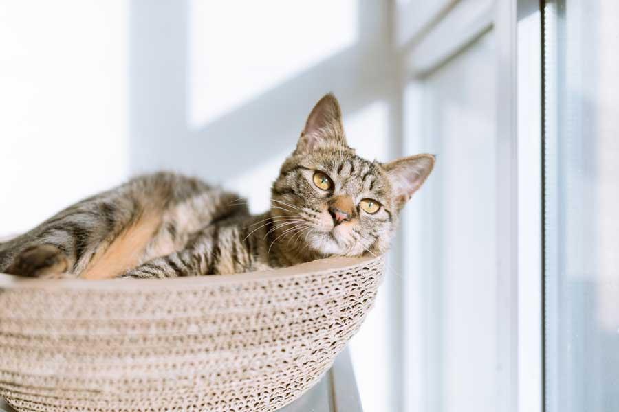 kedilerde kızgınlık dönemi, dişi kedi