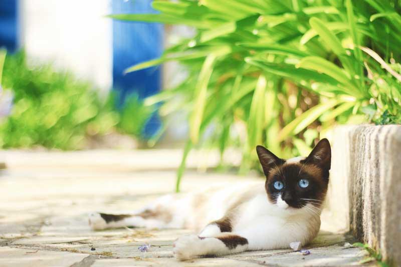 kedilerde kızgınlık dönemi