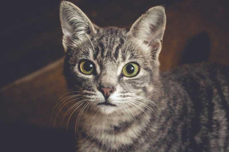 Kedilerin Kızgınlık Dönemi Hakkında Tüm Bilgiler