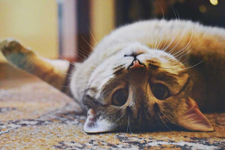 kedilerde göz hastalıkları, yatan kedi