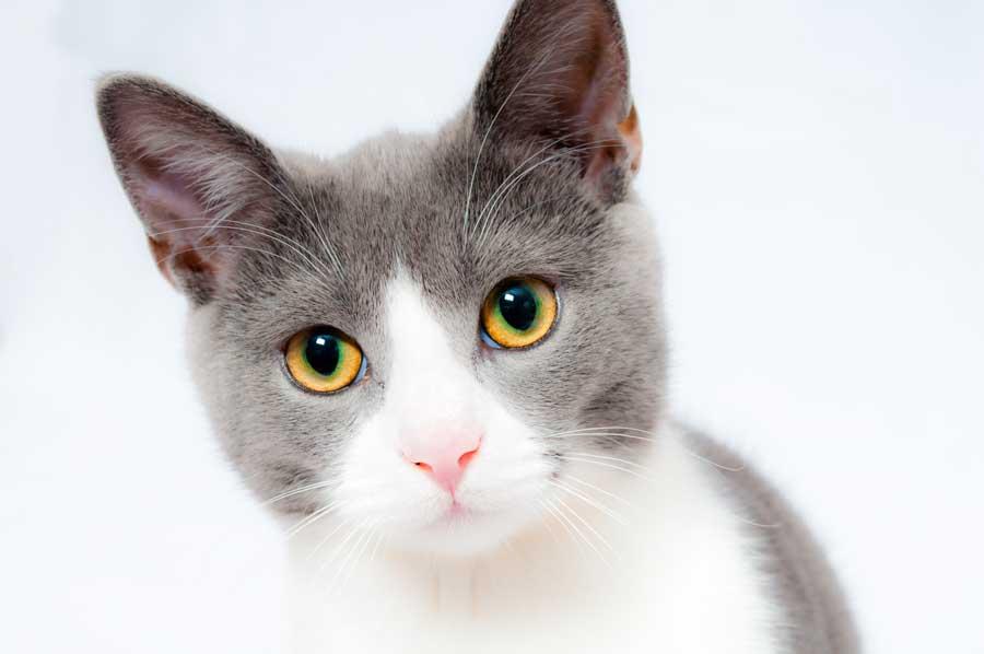 kedilerde göz hastalıkları, kedi gözü
