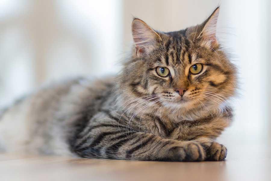 kedilerde göz hastalıkları