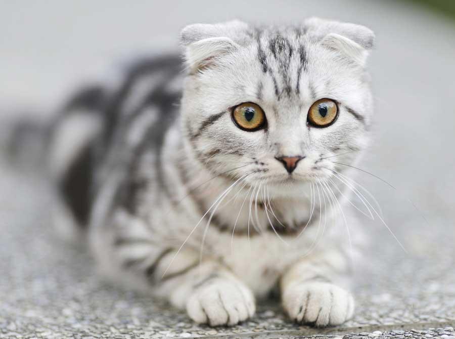 kedilerde göz hastalıkları, beyaz kedi