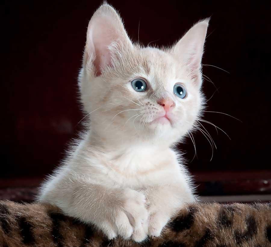 kedilerde göz hastalıkları, mavi gözlü kedi