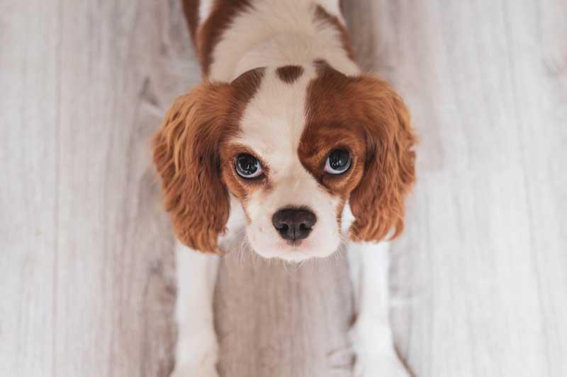 köpek seçimi, küçük köpekler