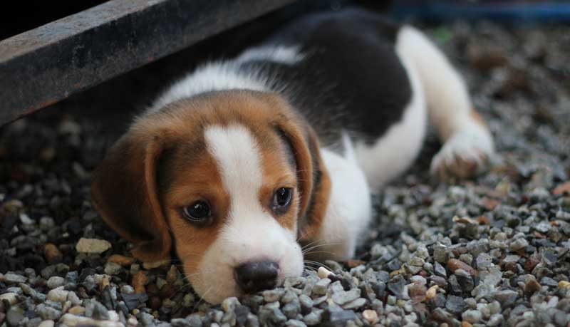köpek seçimi, beagles bakım