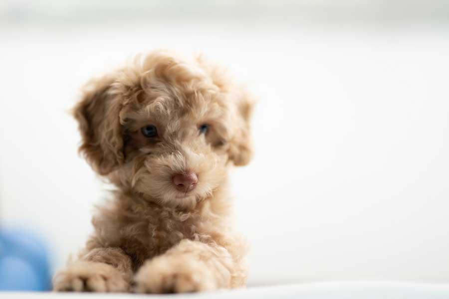 büyümeyen köpek cinsleri