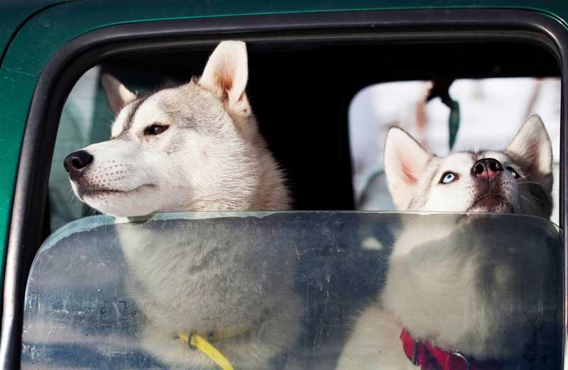 köpeklerde gençlik hastalığı nedir