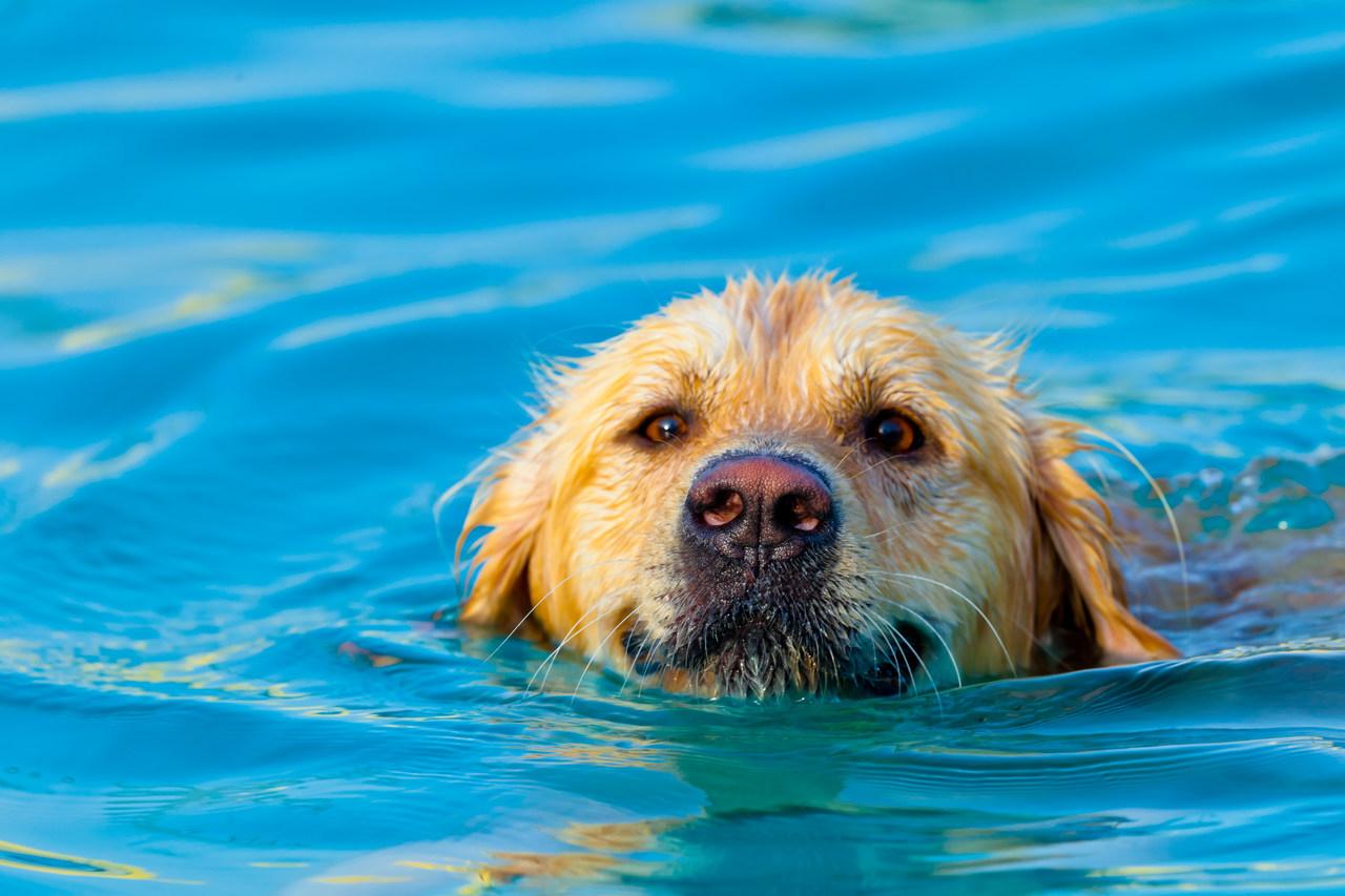 yüzen Golden Retriever, mutlu köpek