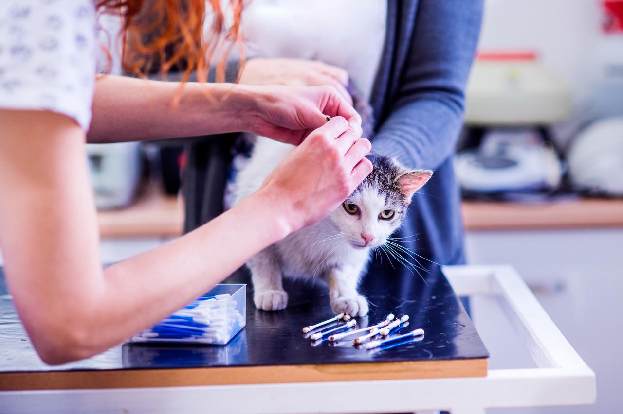 kulak mite, kedilerde mite, kedilerde deri hastalıkları