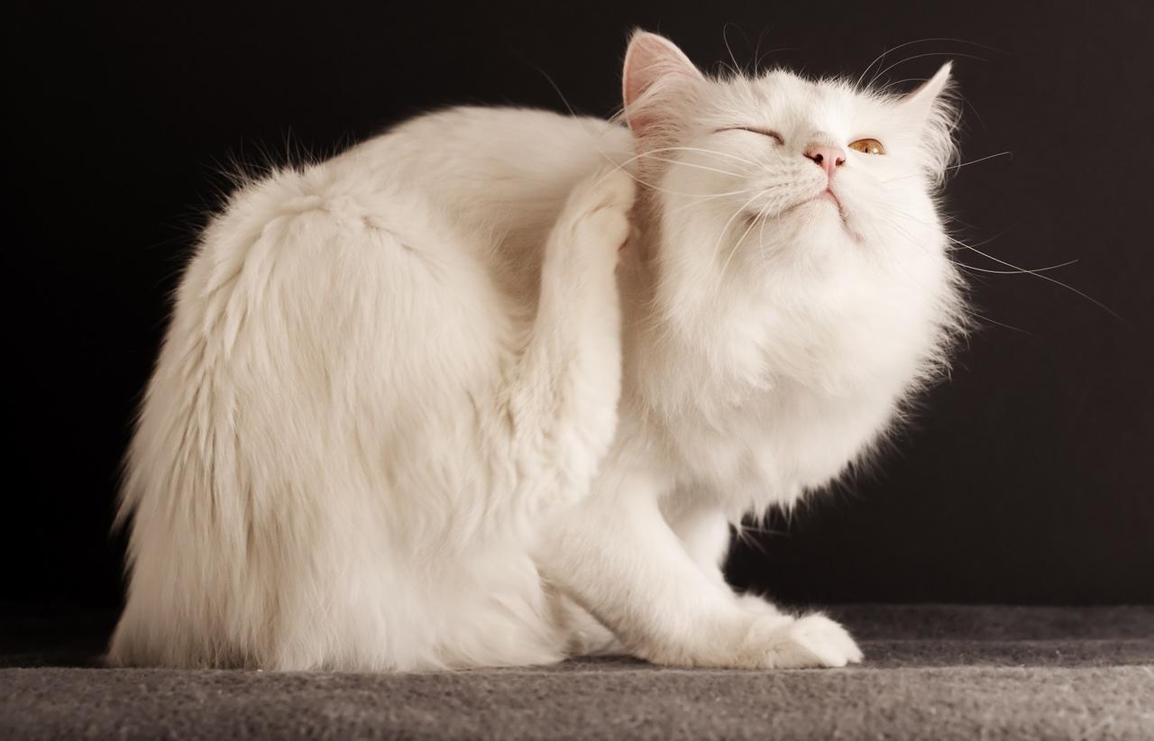 pirelenme, arka patisiyle kaşınan kedi, kedilerde deri hastalıkları