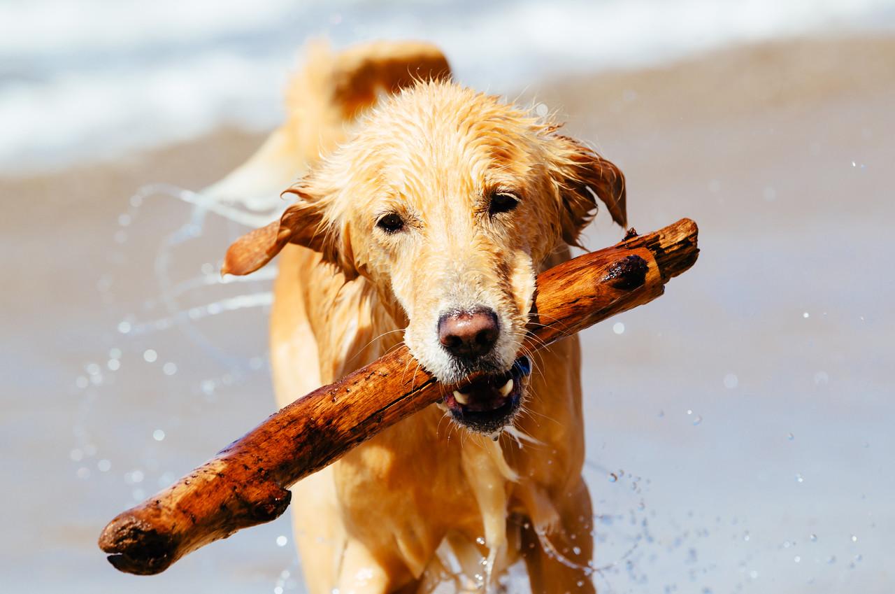 Sudan çıkan Golden Retriever, mutlu köpek