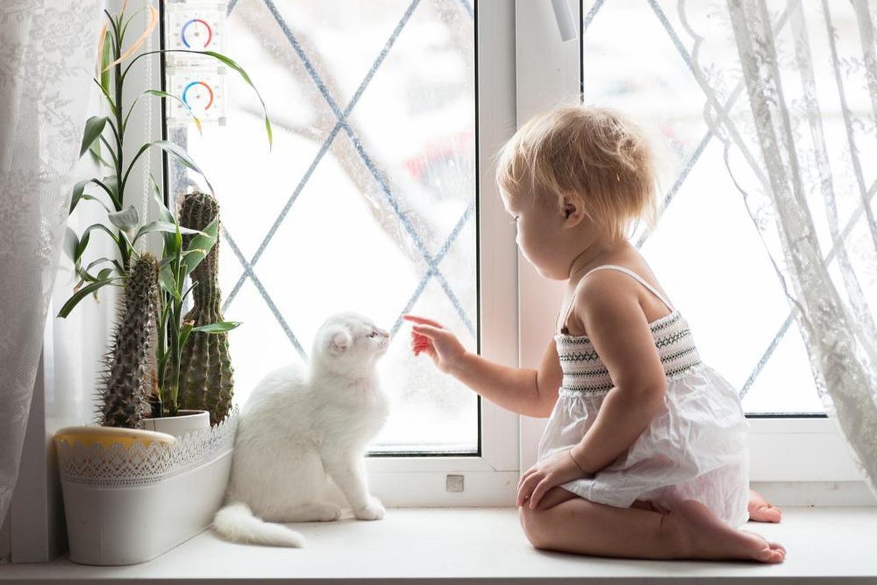 beyaz scottish fold kedi, beyaz kedi ve çocuk, pencerenin önünde oynayan beyaz kedi ile çocuk