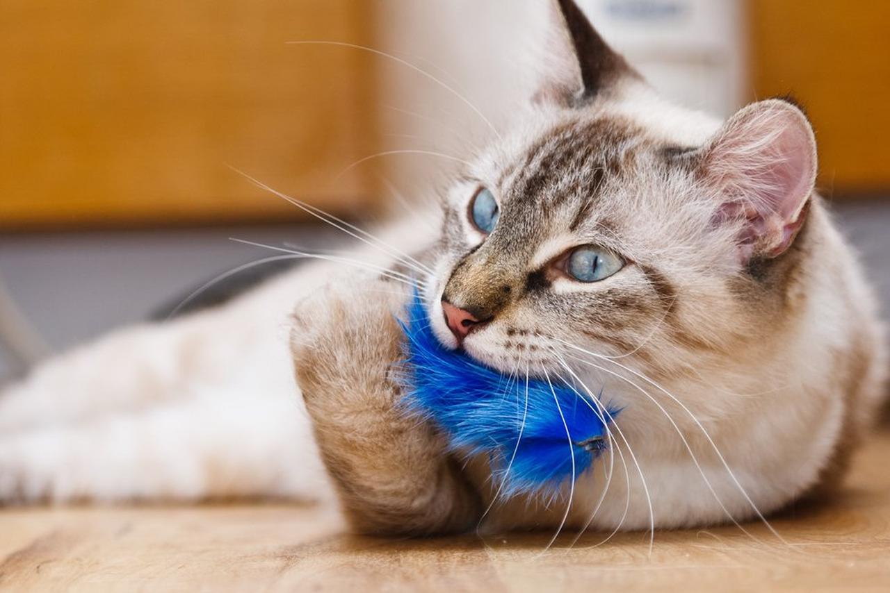 mavi tüylü oyuncak ile oynayan yetişkin gri kedi