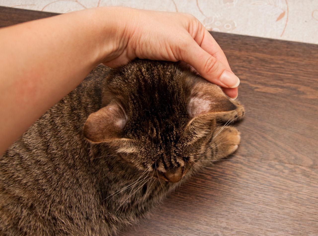 kedi kulağında tüy dökülmesi, bölgesel tüy dökülmesi, ringworm hastalığı, kedilerde cilt hastalığı