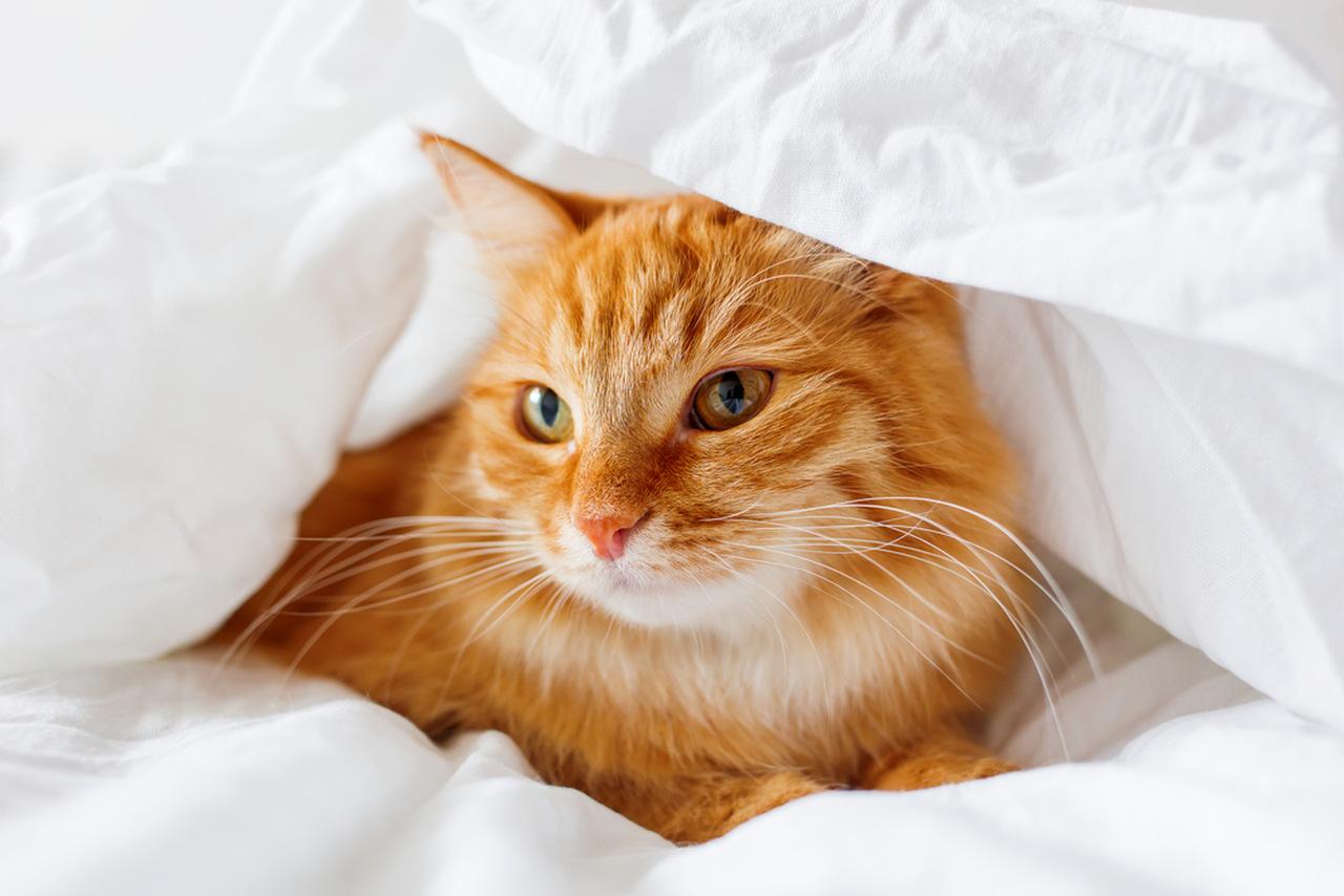 uzun tüylü sarman kedi, nevresim içinde duran kedi