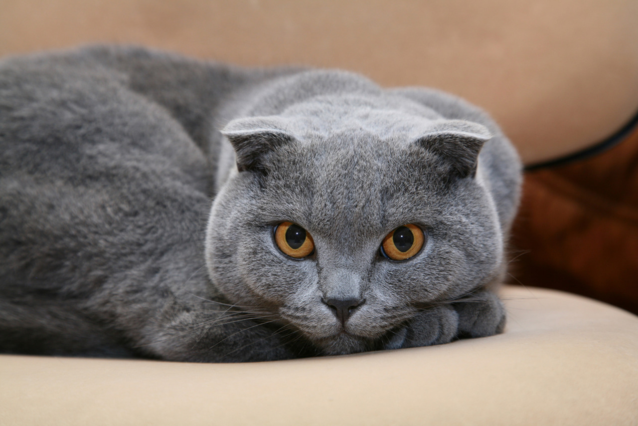 gri scottish fold kedi