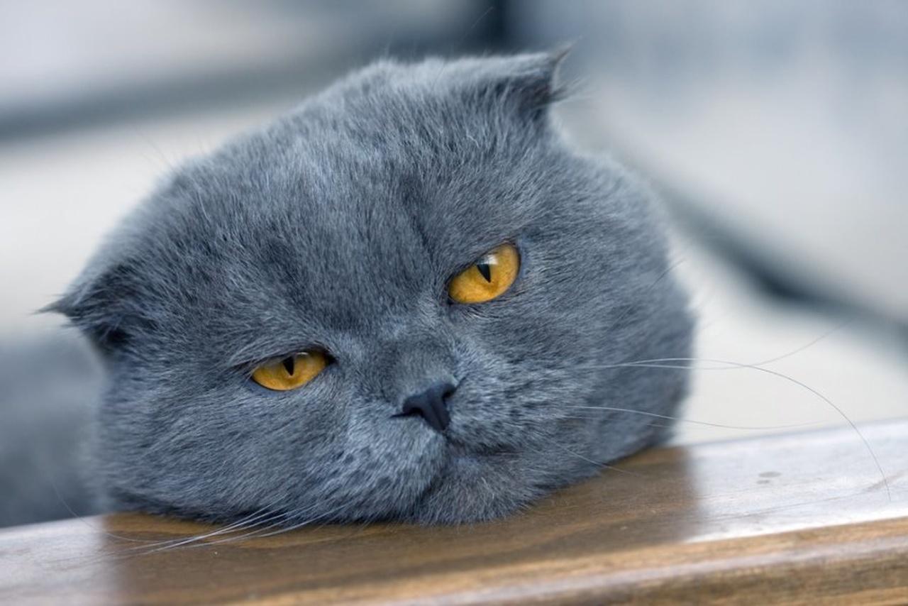 gri scottish fold, scottish fold özellikleri, kıvrık kulaklı kedi