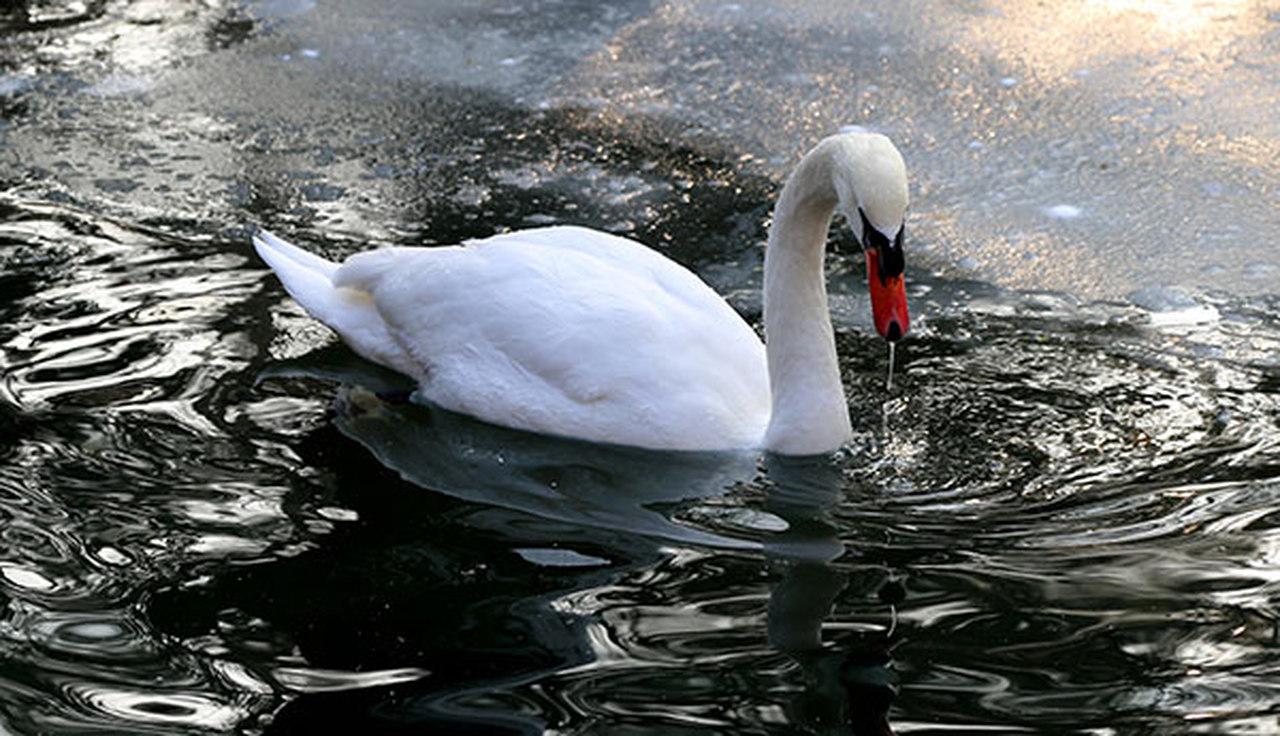 Kuğulu Park'ta yüzen beyaz kuğu
