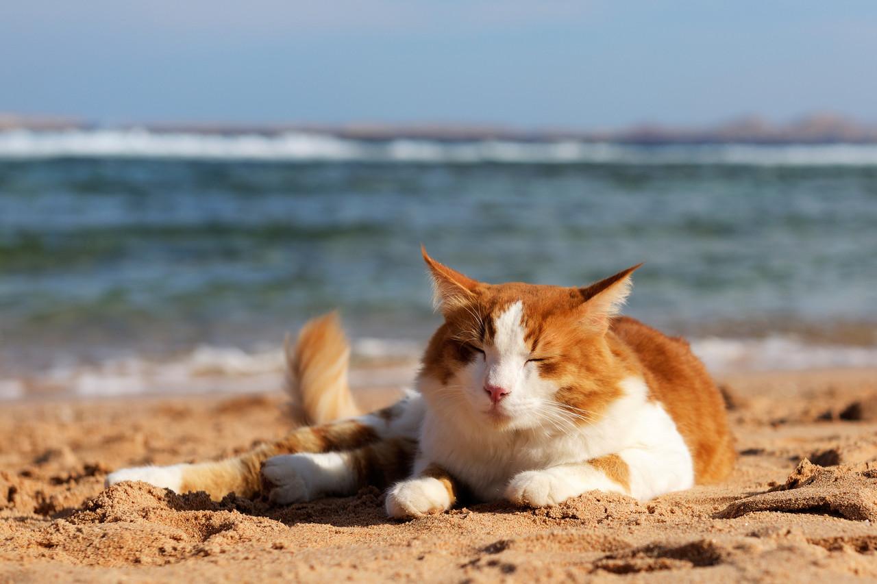 deniz kenarında dinlenen sarman kedi