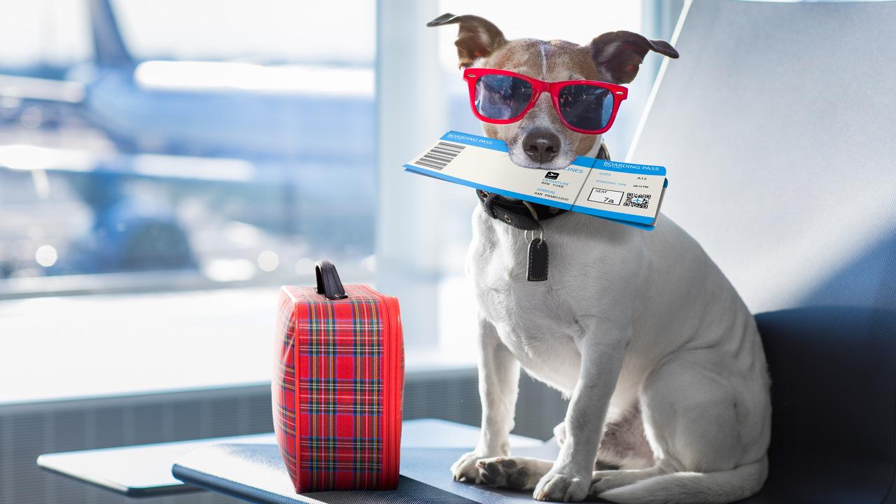 uçak seyahati için bekleyen güneş gözlüklü jack russel cinsi köpek