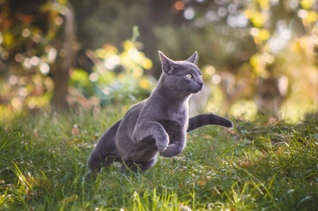 yeşilliklerin içinde koşan gri renkli Russian Blue kedi