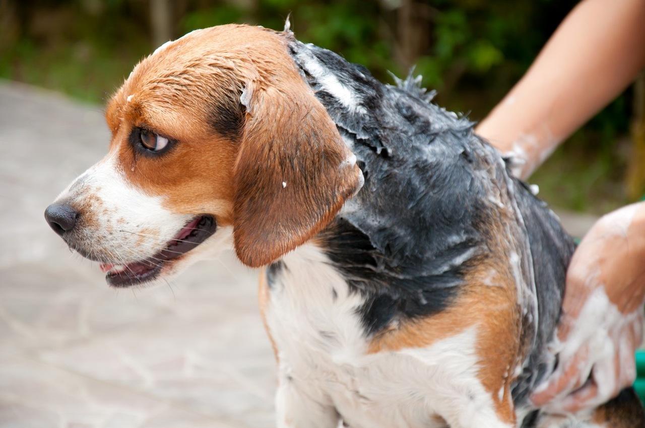 Köpek nasıl yıkanır sorusuna yanıt niteliğinde şampuanlayarak köpek yıkayan köpek sahibi