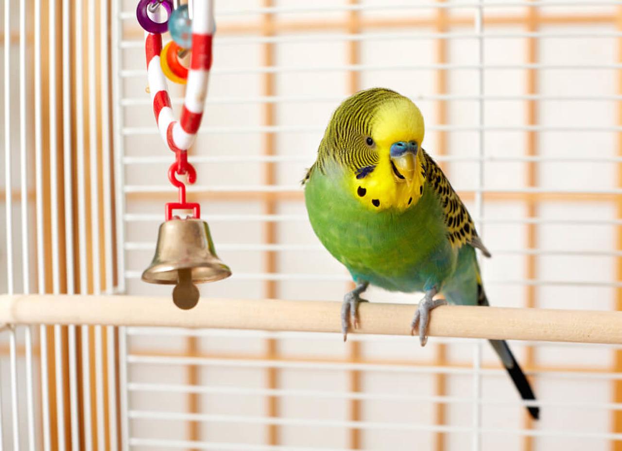 kafeste duran ve öten yeşil muhabbet kuşu