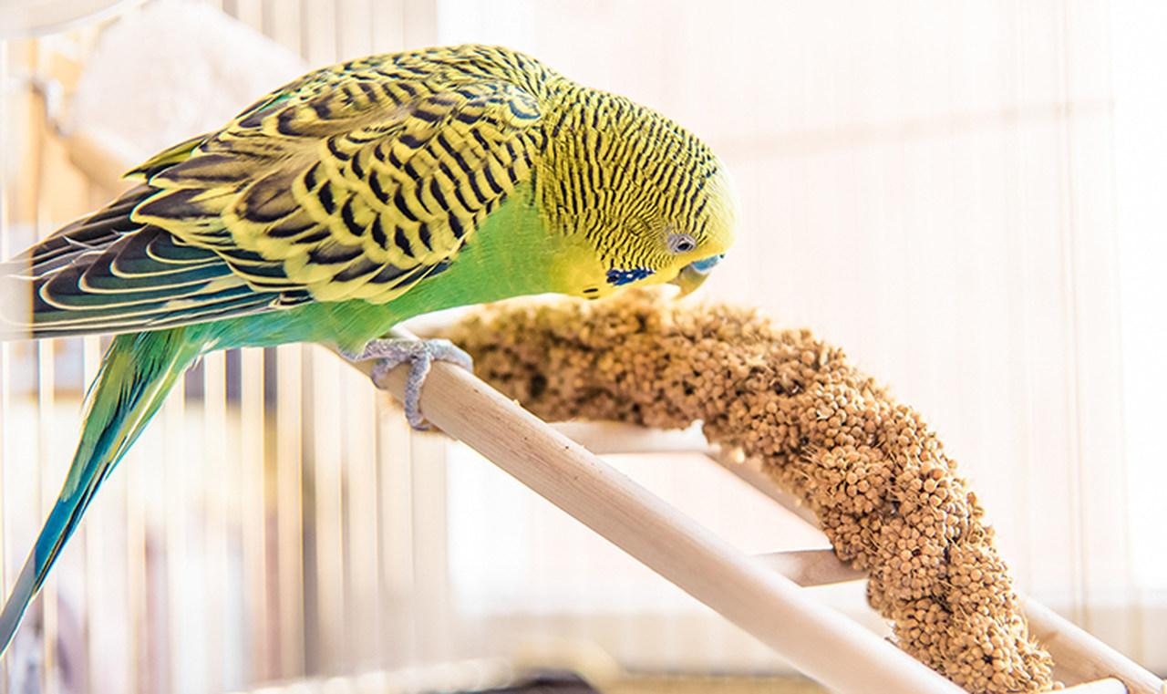 kafesinde yem yiyen yeşil muhabbet kuşu