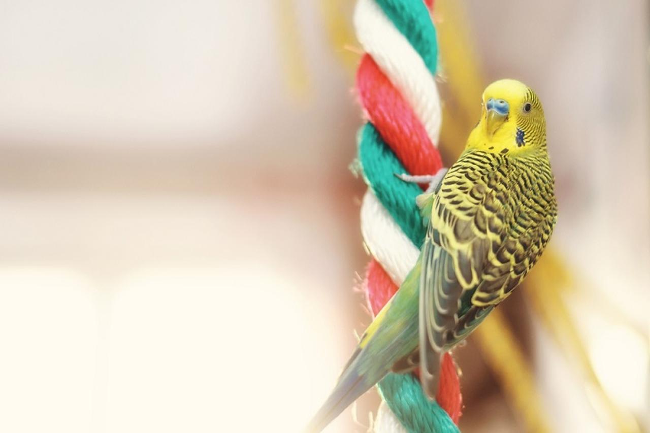 renkli bir ipe tırmanmış asılı duran yeşil muhabbet kuşu
